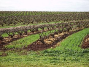 Untrellised bush vines